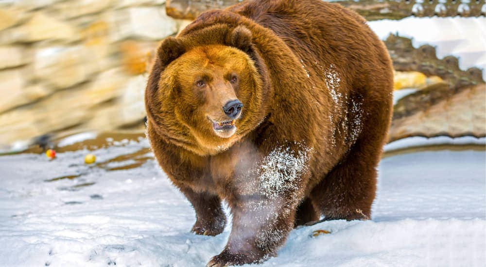 A large brown bear is shown walking in the snow at a local Columbus, OH zoo.