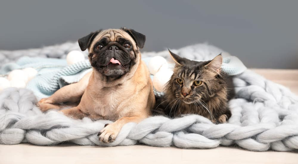 A pug and a tiger cat are laying down on a blanket together.