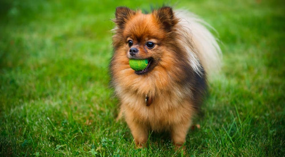 A black and tan Pomeranian with a tennis ball in her month is playing in the grass near Albany, NY.