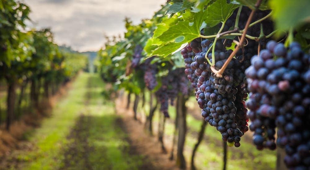 A closeup of grapes in a vineyard near Poughkeepsie, NY.