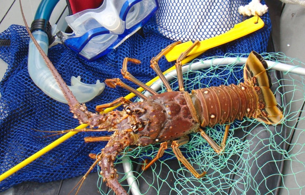 Florida's mini lobster season is in July