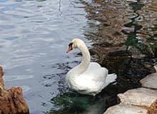 Swan at Lake Eola Park