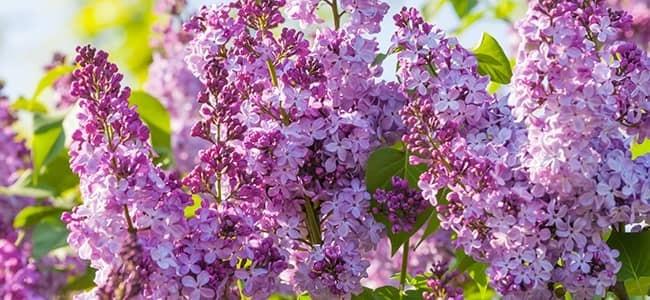 Lombard Lilac
