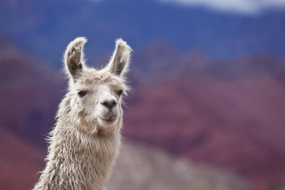 Twin Creeks Llamas